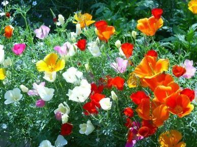 California Poppy Seeds Mixed Colors Eschscholzia Californica