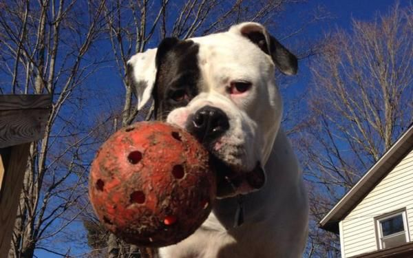 What You Need To Know About Breed Restrictions Pitbull Toys