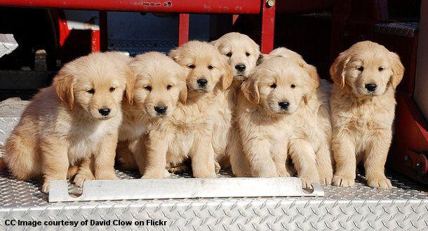 Golden Retriever Puppies On The Back Of A Fire Truck Golden