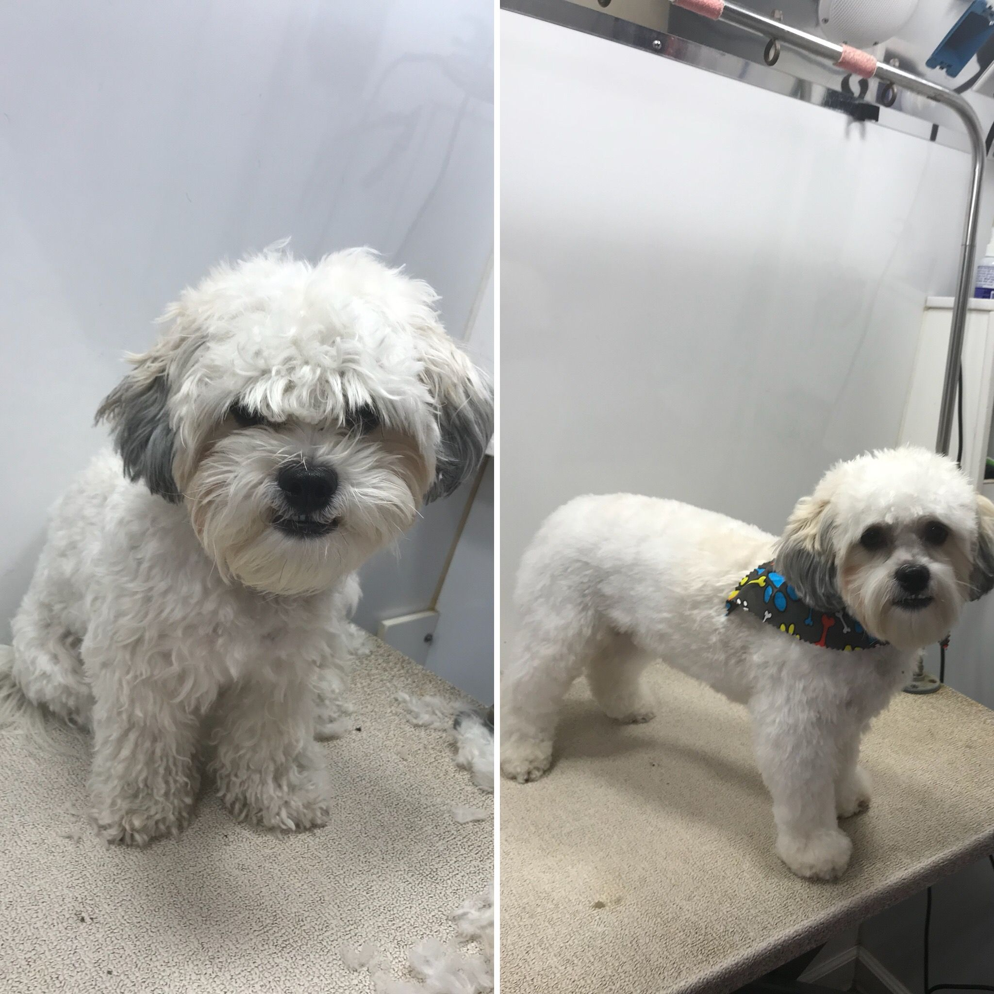 Transformationtuesday Piccredit Our Groomer Ivet Thanks For