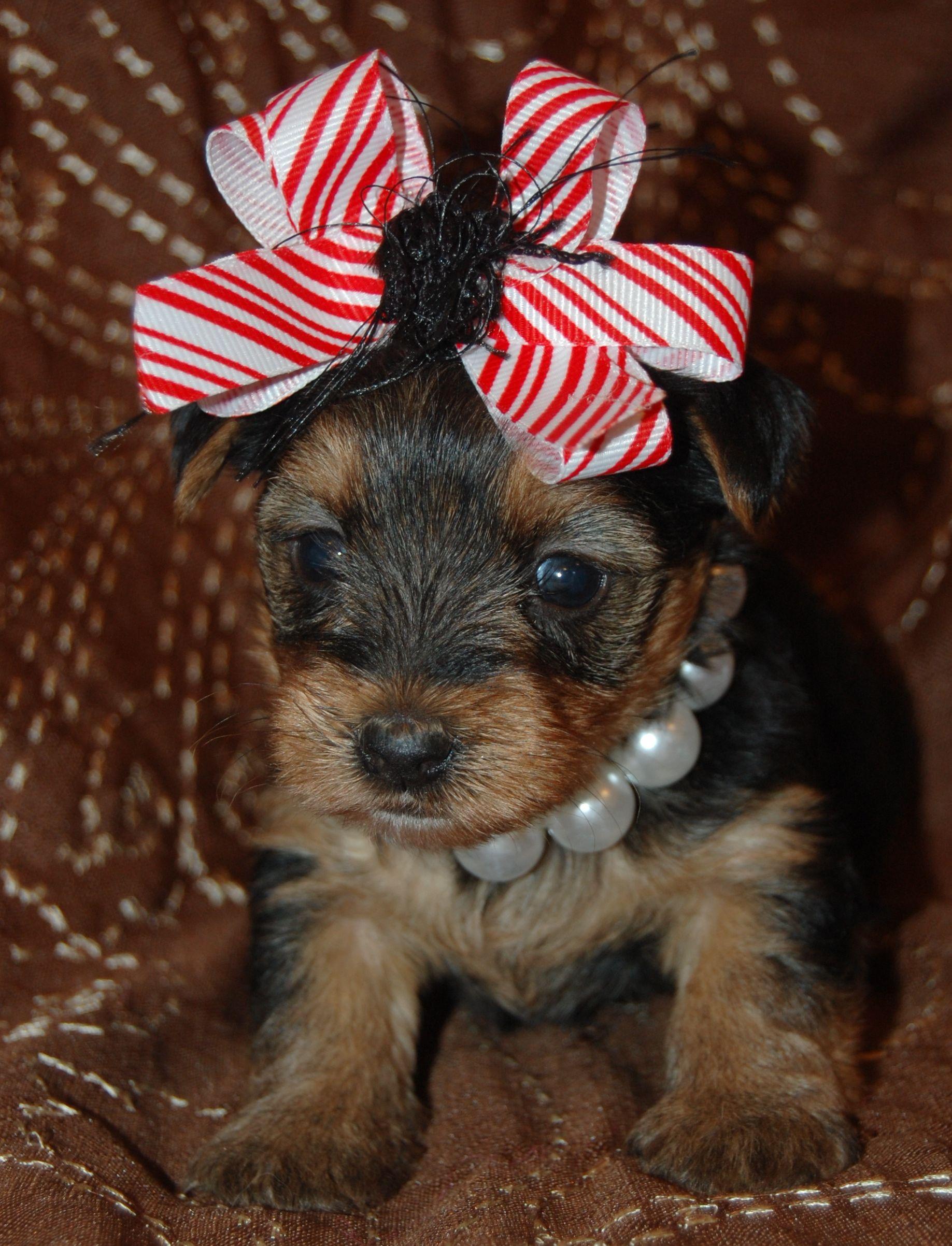 Yorkie For Sale Www Toysandteacups Com Teacup Yorkie Puppy Yorkie Poo Yorkie