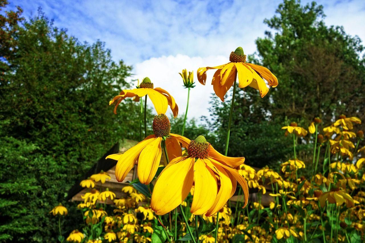 Garden Cone Flower Yellow Cone Flower Flower Garden Coneflower