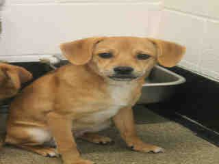 Rosco Part Pon And Chihuahua Statesville Nc Www Petharbor Com