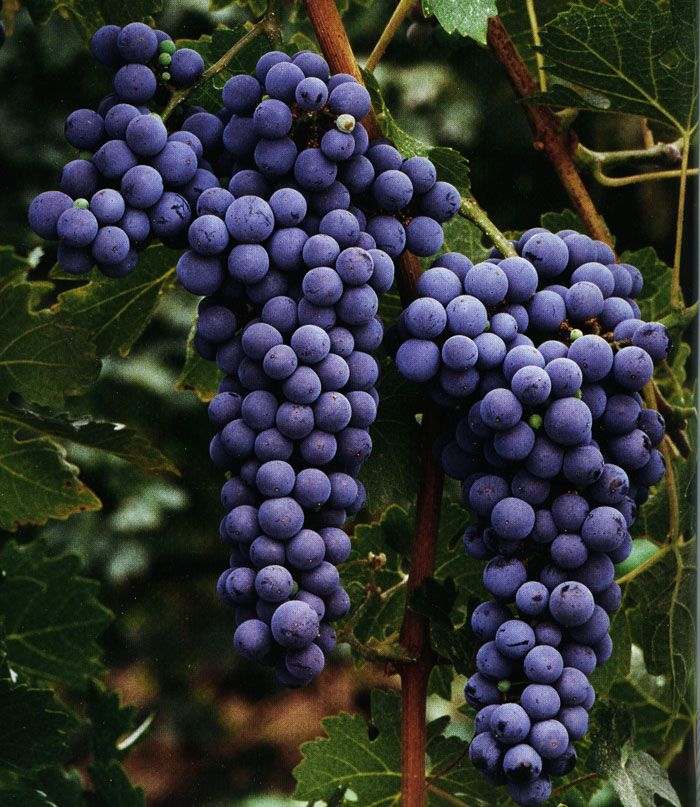 cabernet sauvignon에 대한 이미지 검색결과