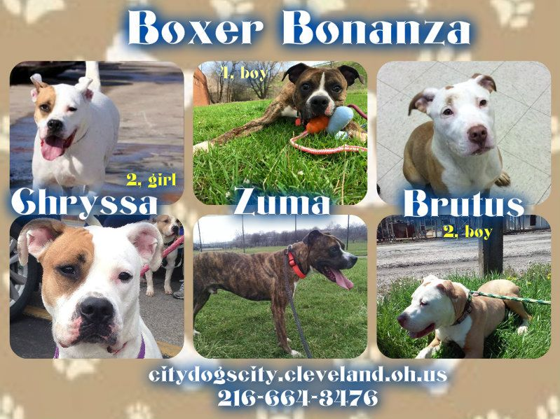 Pin By Cleveland Pitties On Rescue Collages Boxer Mix Rescue Dogs Animals