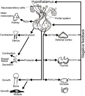 The basics of the endocrine system. Great diagram/chart