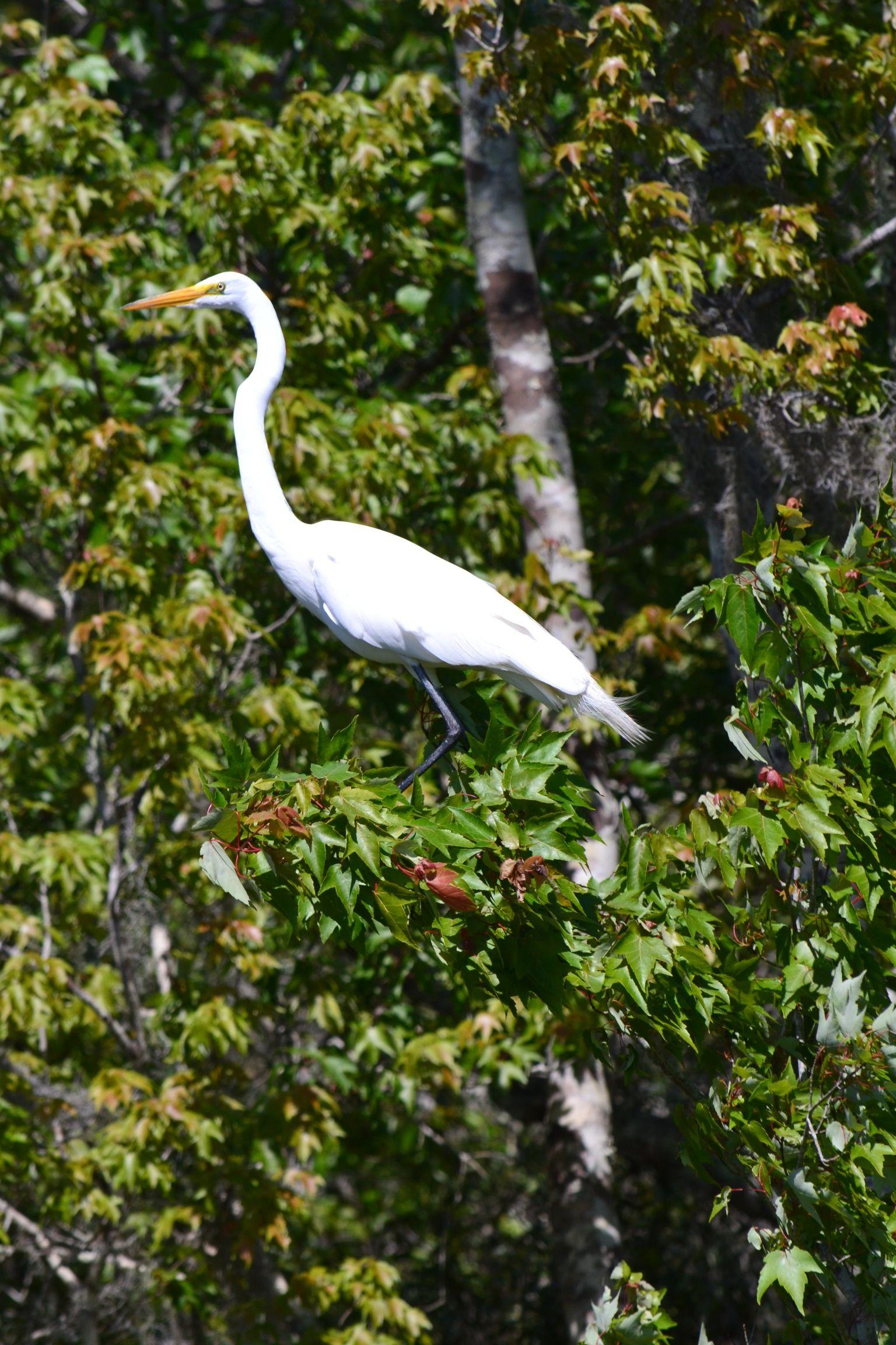 Great egret birds animals