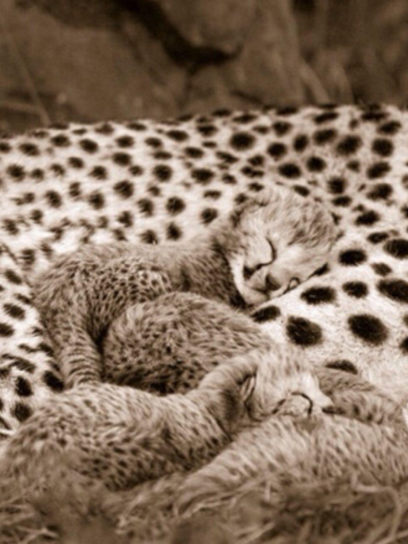 four cute cheetahs sleeping on mom s back cheetah pinterest