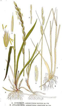 Elytrigia Repens Couch Grass Plants Plant Leaves Printmaking