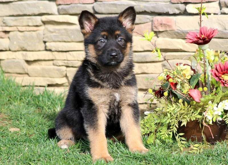 German Shepherd Dog Puppy For Sale In Mount Joy Pa Adn 67474 On