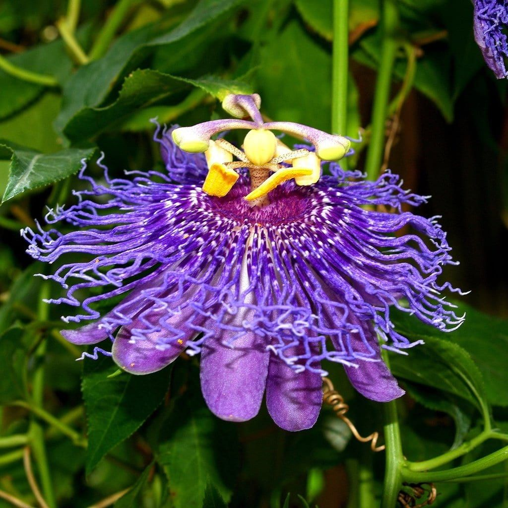 Passion Flower Gained Its Name From The Unique Structure Of Its Flowers And Their Symbolic Importance Accordi In 2020 Passion Flower Flower Farm Purple Passion Flower