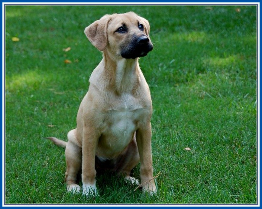 Magnificent German Shepherd Lab Mix Dogs More Design http