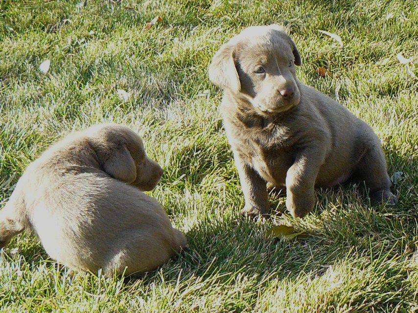 Silver Valley Kennels Silver And Charcoal Gray Labrador Retrievers Silver Lab Puppies For Sale Silver Lab Labrador Retriever Silver Lab Puppies Lab Puppies