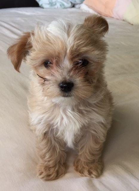 Litter of 5 Morkie puppies for sale in MOUNTLAKE TERRACE