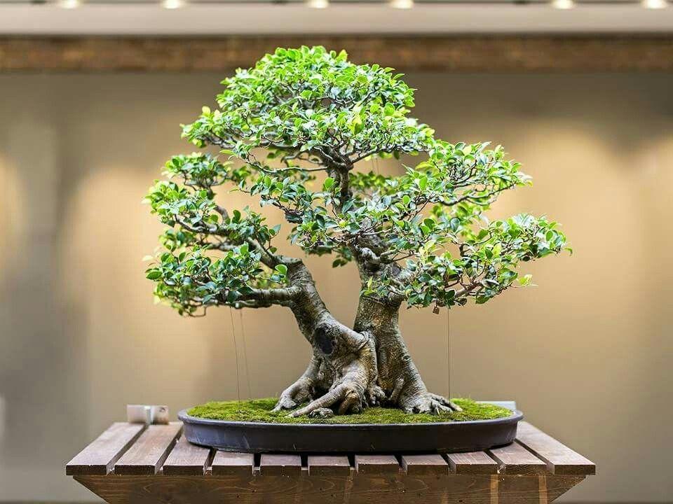 Display Your Bonsai Under Good Light Bonsai Tree Types Bonsai Tree Bonsai