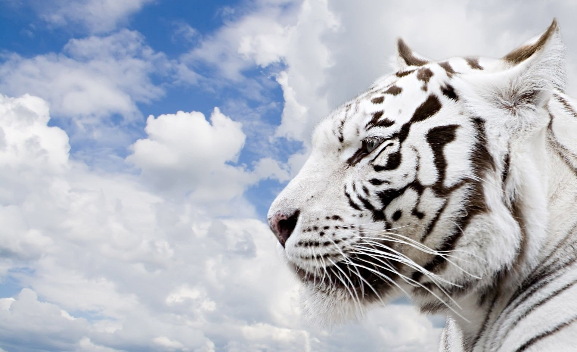white tiger hd wallpapers hd wallpapers inn tiger pinterest