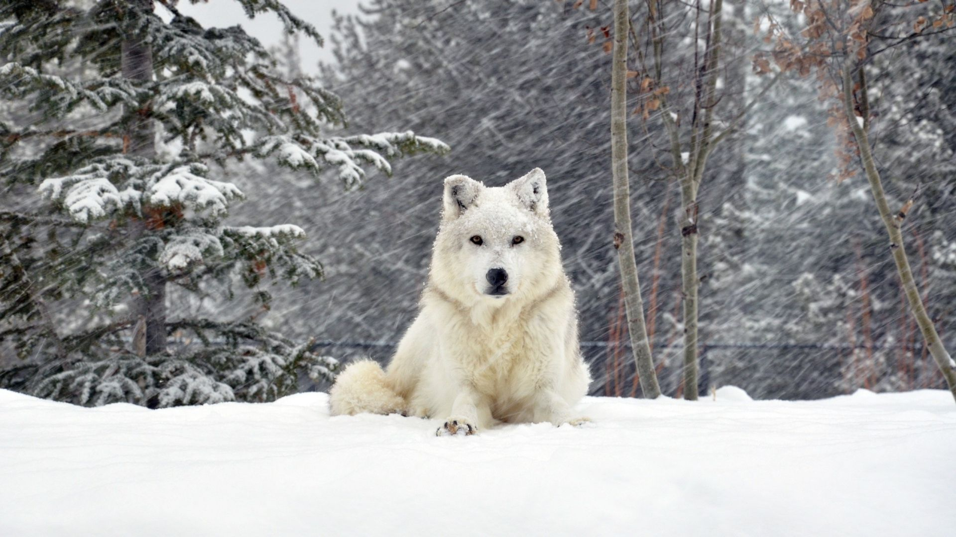 1920x1080 Wallpaper dog, wolf, forest, snow, lying