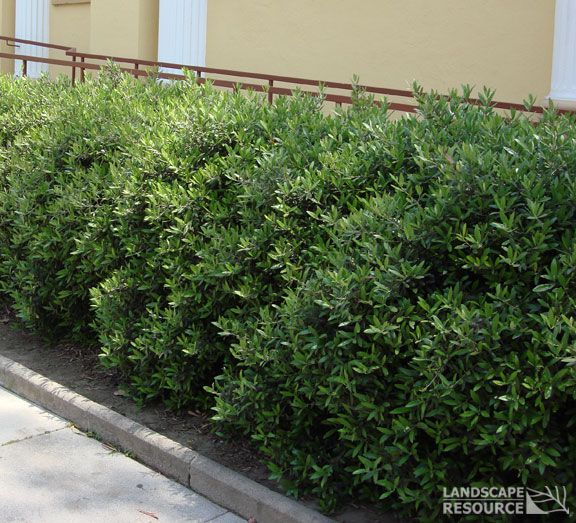 Drought Tolerant Bushes