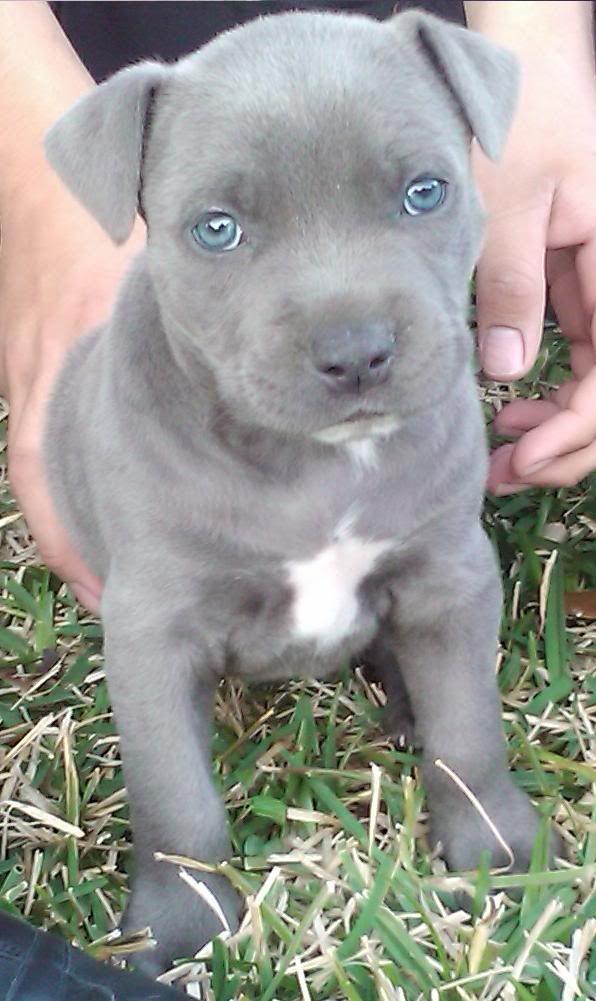 Gator Mouth Pitbull Puppies