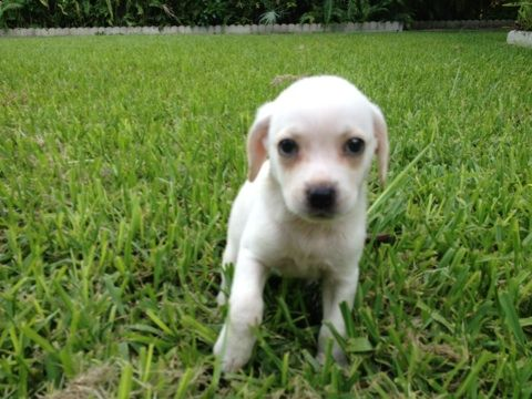 Adopt Baby Hermione On Mastiff Mix Chihuahua Mix Cute Animals