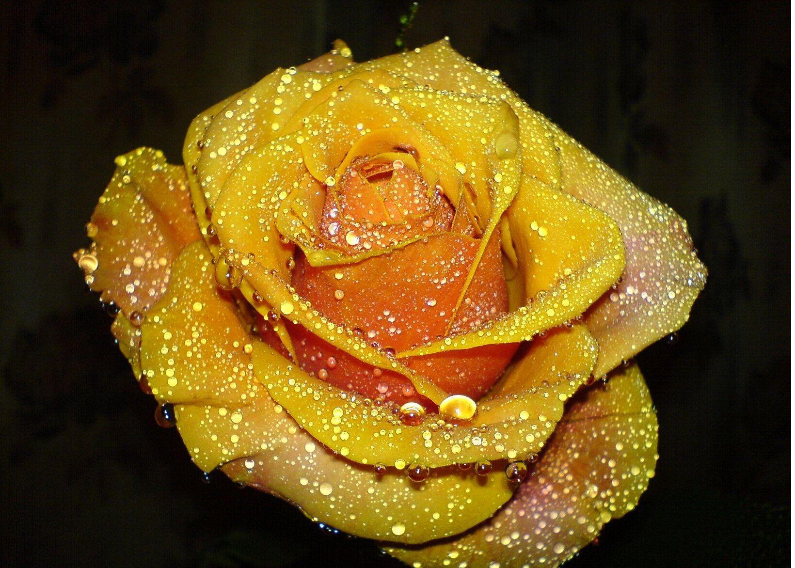 جمال الورد الاصفر Imagx