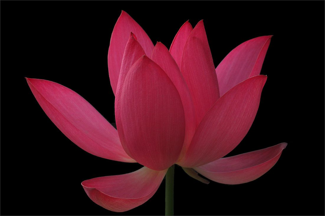 Red Lotus Flower | Red Lotus Flower | Cute thing | Pinterest | Lotus ...