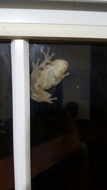 Godzilla frog