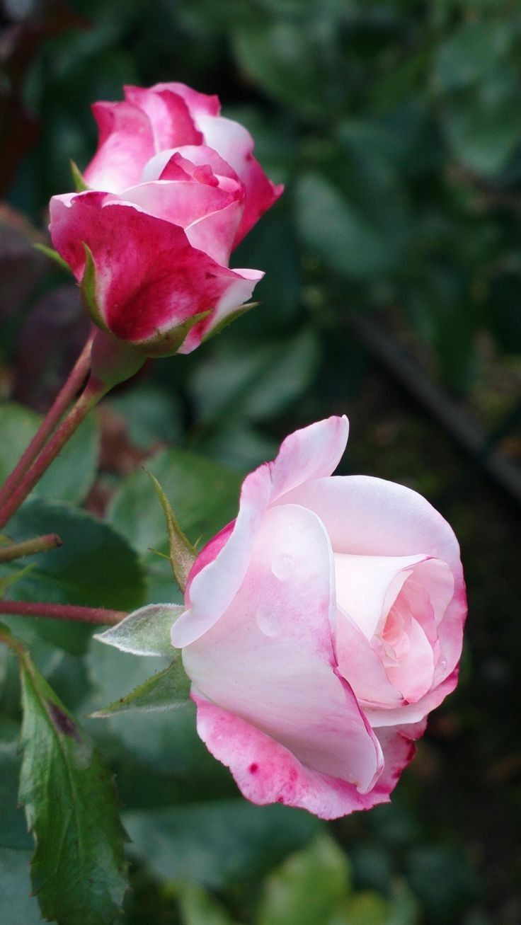 Pin by My Anh on 1.2 Roses   Pinterest   Flowers, Beautiful flowers ...