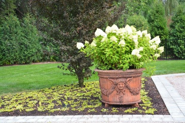 Limelights In A Pot Prune In Late March Or Early April Feed Once A Year With Balanced Fertilizer Little Lime Hydrangea Planting Hydrangeas Limelight Hydrangea
