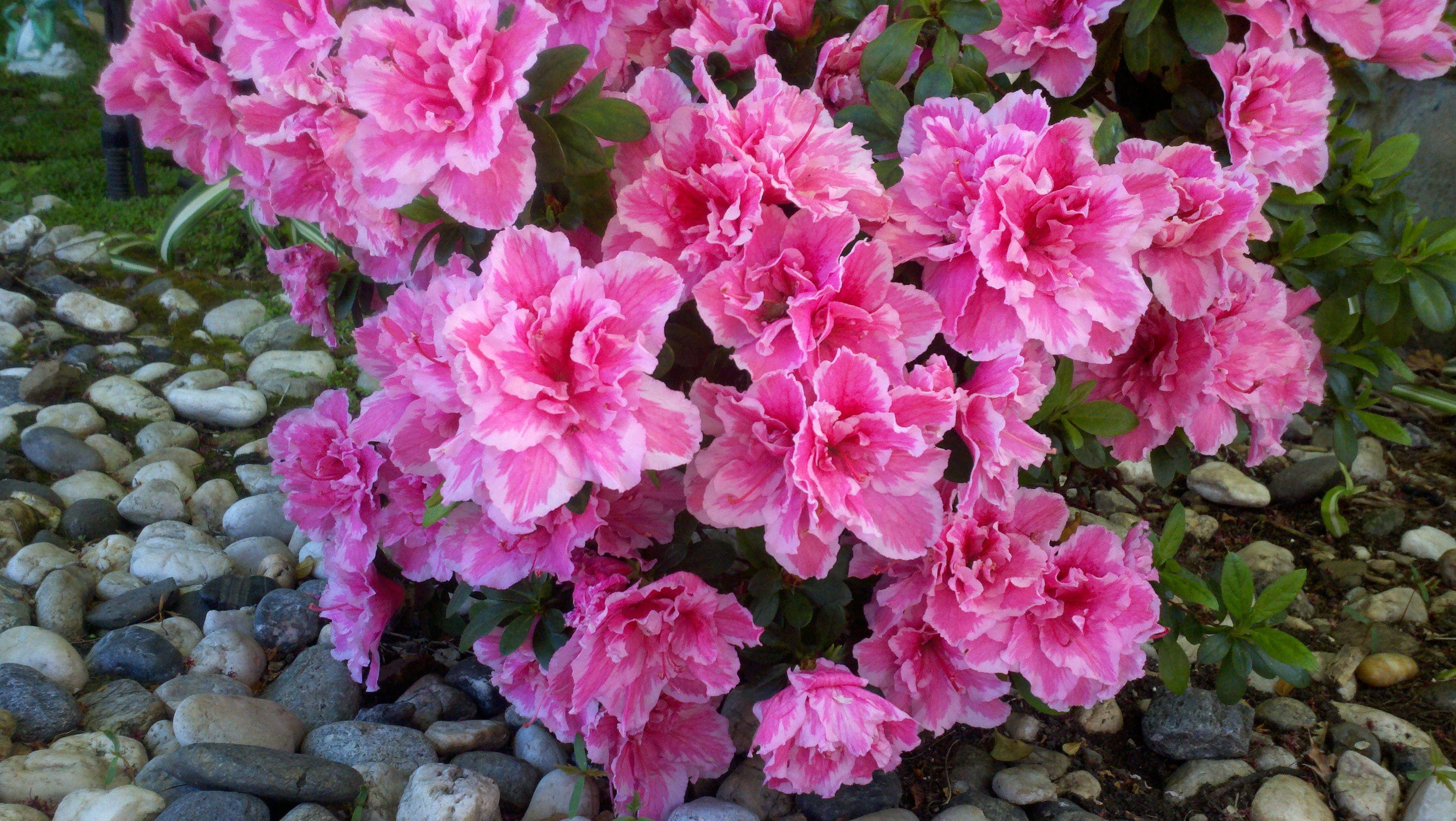 Pinstriped Edge Pink Azalea Flower Garden Gardening Flowers