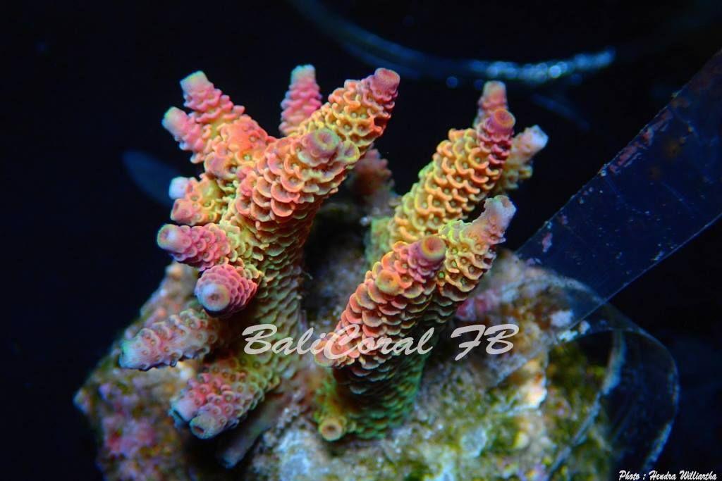Gallery - Bali coral - Indonesia Coral Exporter / Coral Supplier