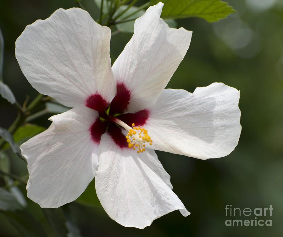 Hibiscus Rose White Wing Google Search Green Thumb Lawn