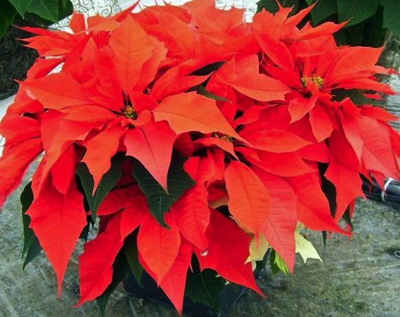 Inclined To Nurse That Poinsettia Through The Spring Summer And