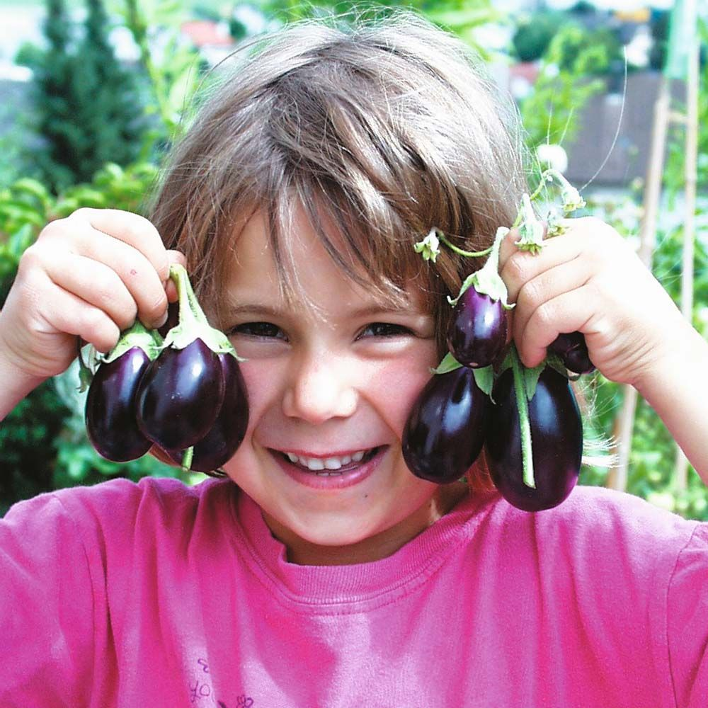 "The bite sized fruits of Aubergine 'Ophelia' have no bitter aftertaste and hold their flavour, quality and colour well after picking. These dwarf plants are ideal for growing in containers on the patio. Height and spread: 60cm (24"")."