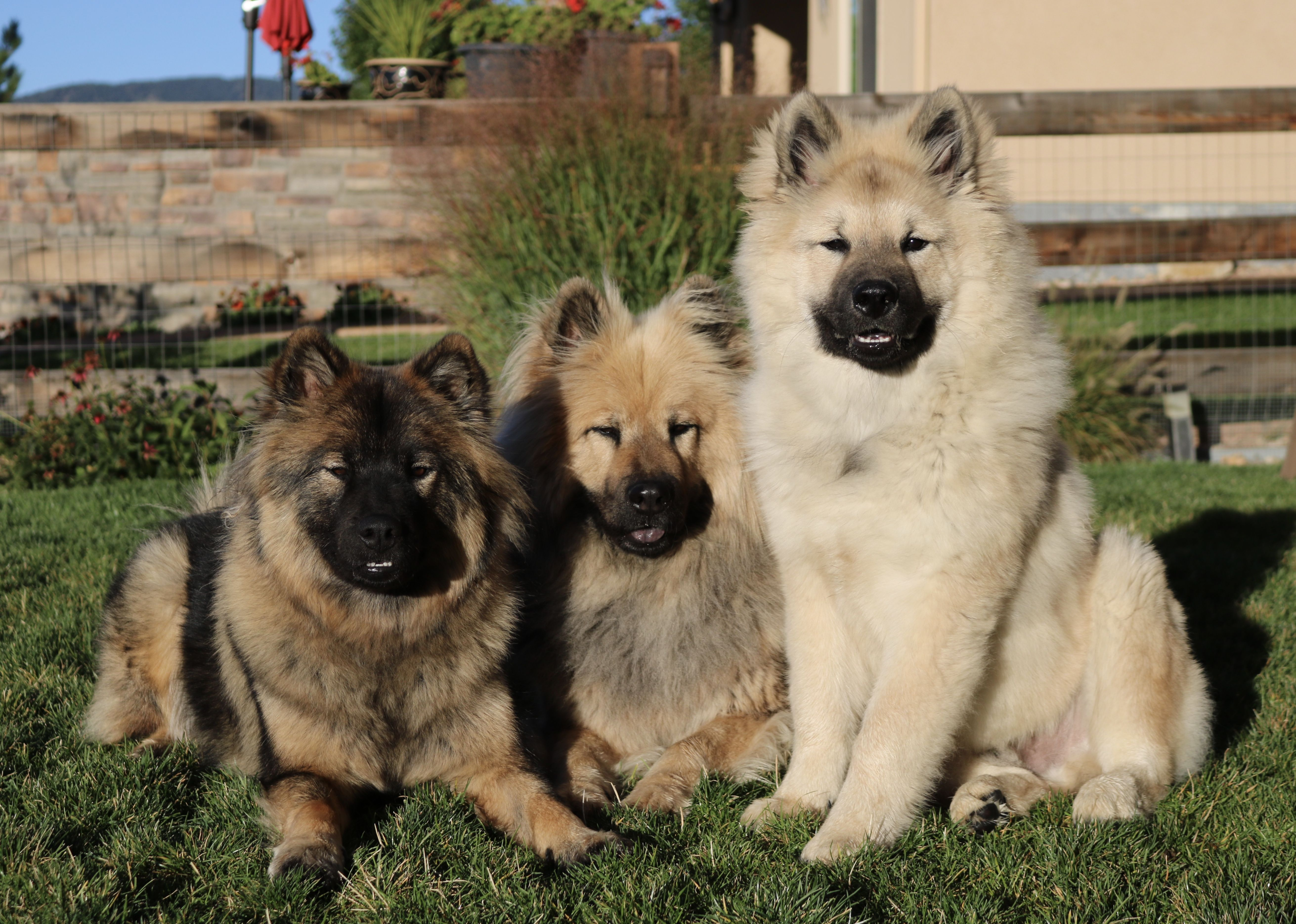 Pin By Heather Carmosino On Eurasier Dogs Dog Life Dog Lovers Dogs