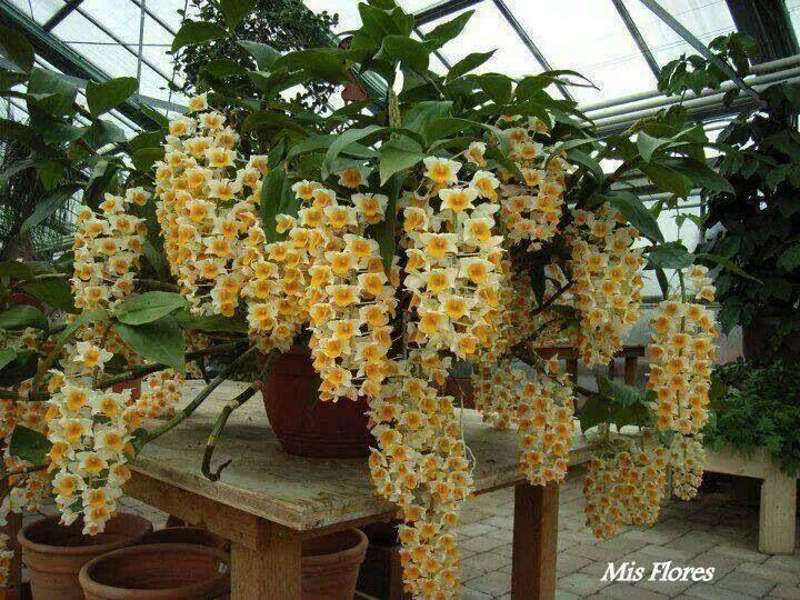 Amazing yellow exotic flowers. http://www.thailandlifestyleproperties.com     http://www.rayongthailandproperties.com.au