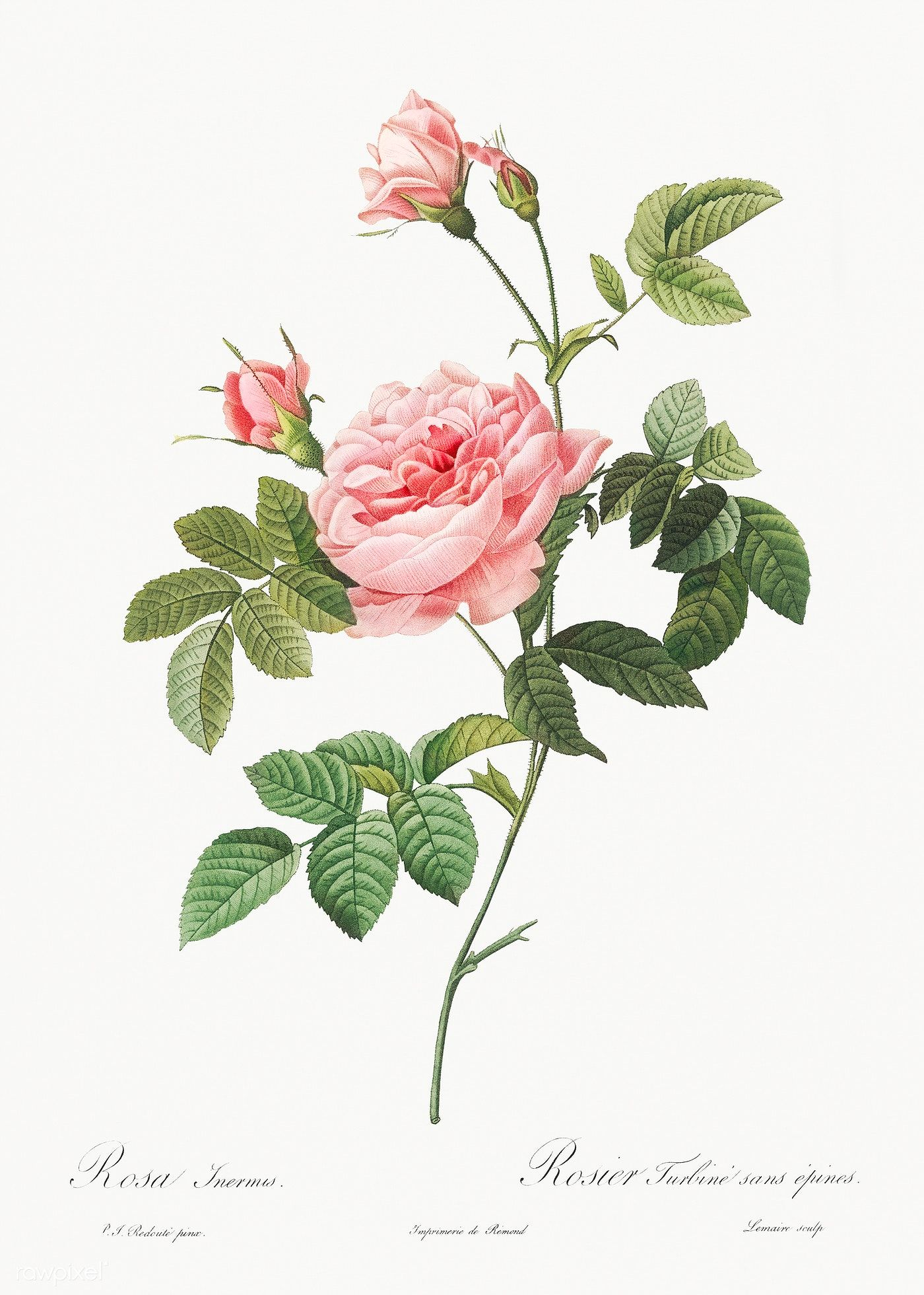 Les Rosesby Pierre Joseph Redout Eacute Original From The Library Of Congress Digitally Enhanced By Rawpi Flower Drawing Flower Art Vintage Botanical Prints
