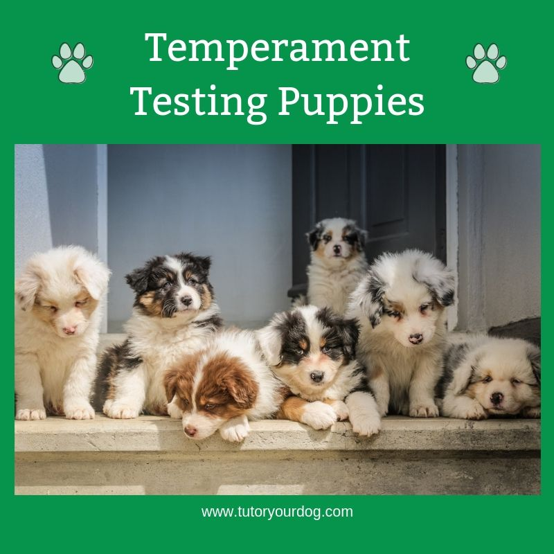 Follow Our Temperament Testing Puppies Board To Learn How Puppies
