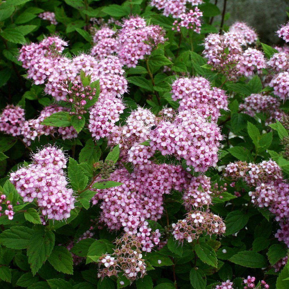 rinteeseen matala angervo, on eri sävyisiä olemassa:Spiraea japonica 'Little Princess'