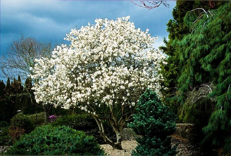 Magnolia Tree Is A Large Genus Of About 210 Flowering Plant Species In The Subfamily Magnolioide Large Backyard Landscaping Magnolia Trees Backyard Landscaping