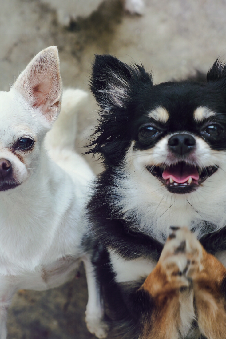 Chihuahuas Of Two Adorable White Short Hair And Black Tan Cream Long Hair Chihuahua Cute Chihuahua Chihuahua Lover Chihuahua