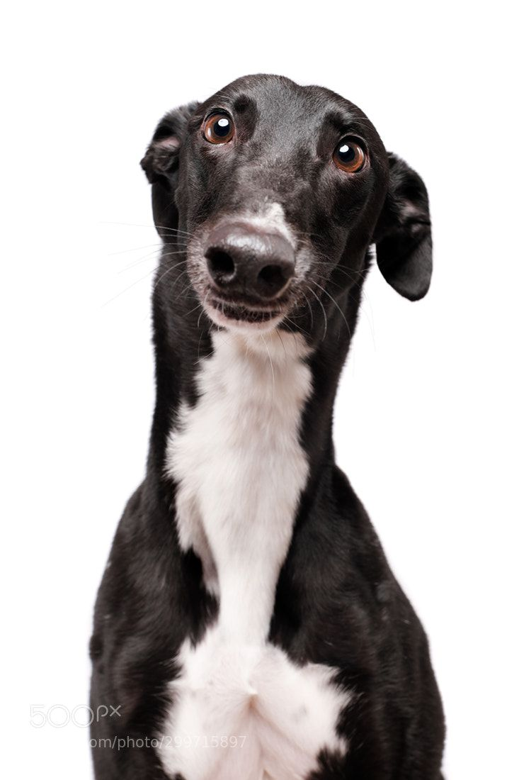 Julie the greyhound by Wieselblitz Dogs, Animal stories