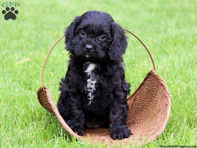 Gwennie Golden Retriever Puppy For Sale In Pennsylvania Cavapoo Puppies Cavapoo Puppies For Sale Cavapoo