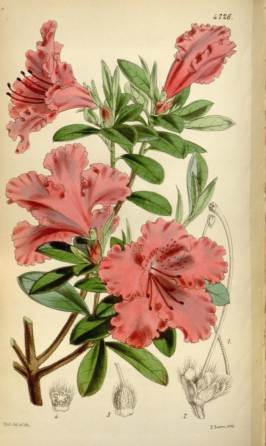 v.79 [ser.3:v.9] (1853) - Curtis's botanical magazine. - Biodiversity Heritage Library Azalea