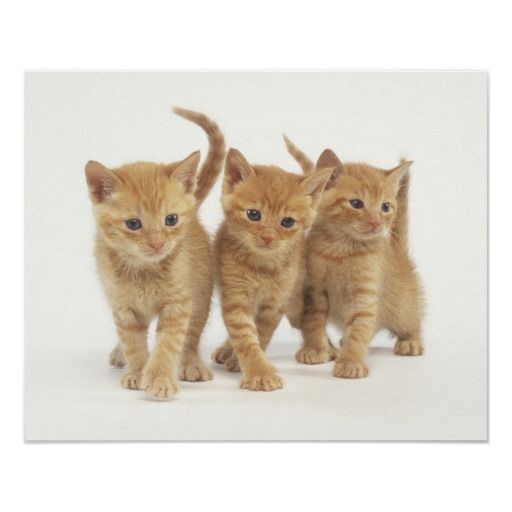 Orange Kittens Walking Posters Orange Kittens Pet Mice Kittens