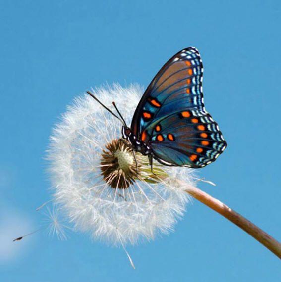 Бабочки на картинках и фото, описания и названия бабочек ...