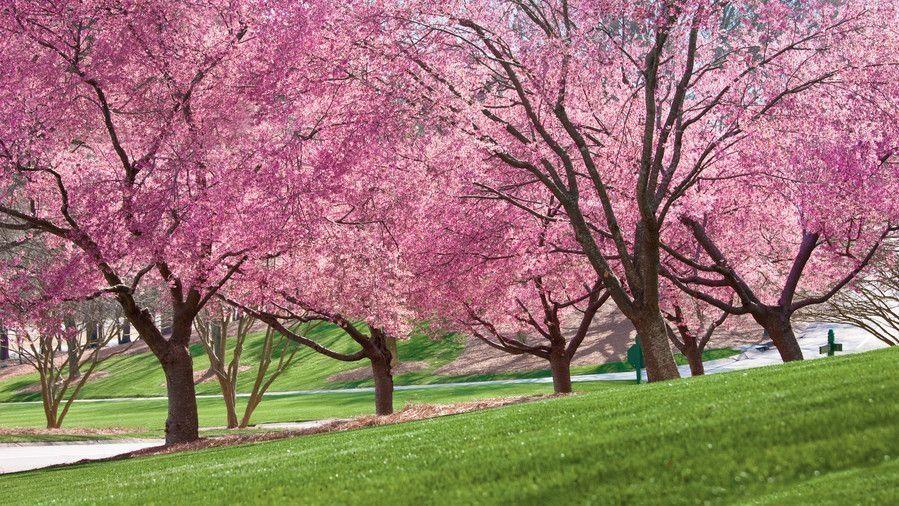 35 Best Garden Flowering Tree Ideas For Spring Decorhit Com Spring Blooming Trees Spring Flowering Trees Blooming Trees