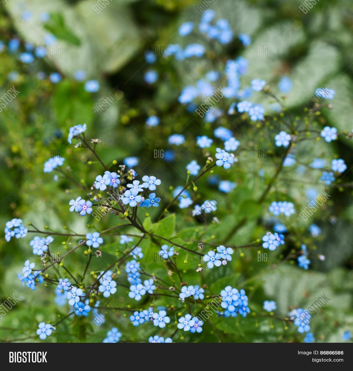 Floral Background Shot Of A Tiny Blue Flowers Savor For Later