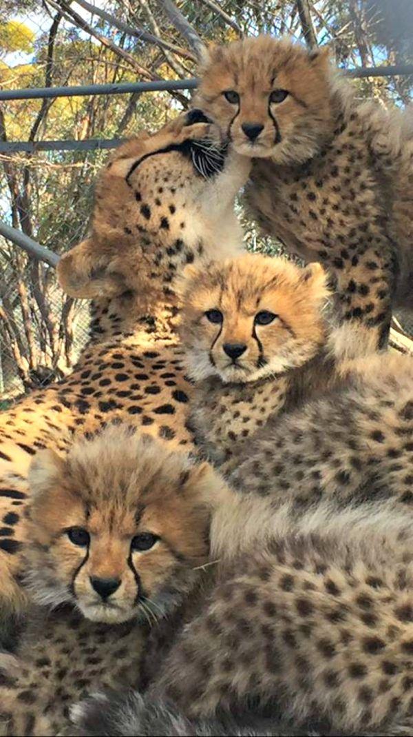 Five Cheetah Cubs Fluff It Up at Monarto Zoo Cheetah