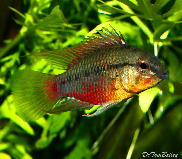 Premium New And Rare Apistogramma Hongsloi Dwarf Cichlid 1 5 T 2 Long Aquarium Fish Tropical Fish Cichlids